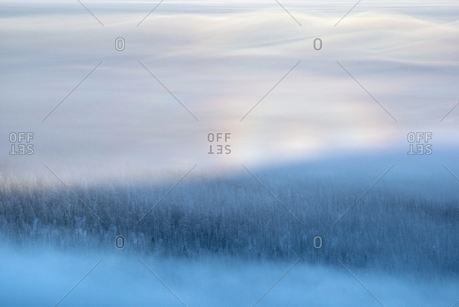 Misty, frost-covered Norway spruce, Picea abies, forest