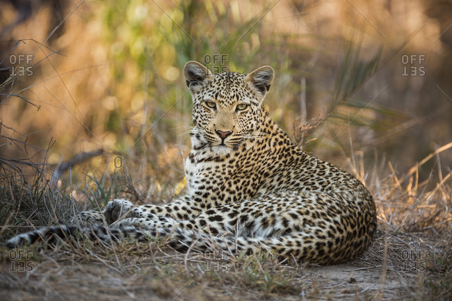 A Leopard, Panthera pardus, resting in the grass