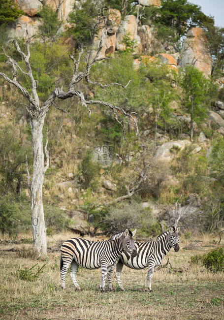 A pair of Plains zebras, Equus quagga, standing together near a tree with a rocky hill