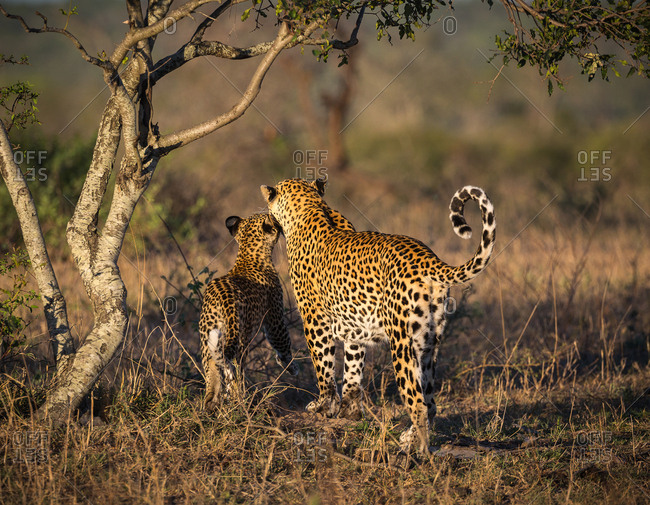 A female Leopard, Panthera pardus, being nuzzled by her cub