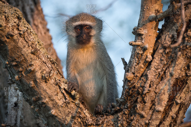 A Vervet monkey, Chlorocebus pygerythrus, in warm evening light in a tree