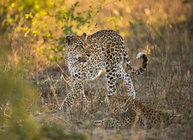 A female Leopard, Panthera pardus, walking forward with its cub in the foreground