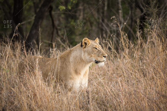 Portrait of a female Lion, Panthera leo, standing in tall grass
