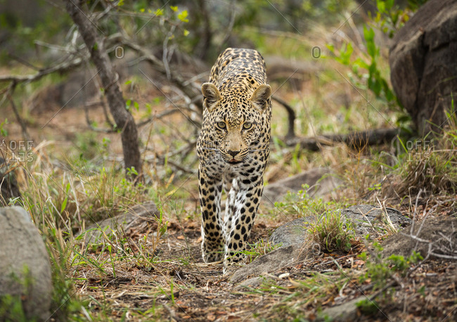 A Leopard, Panthera pardus, walking toward the camera