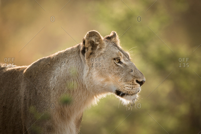 Portrait of a female Lion, Panthera leo, backlit