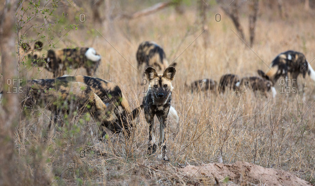 A pack of African wild dogs, Lycaon pictus, in tall grass