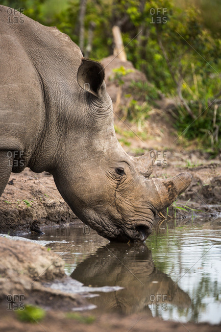 A White rhinoceros, Ceratotherium simum, drinking at a water hole