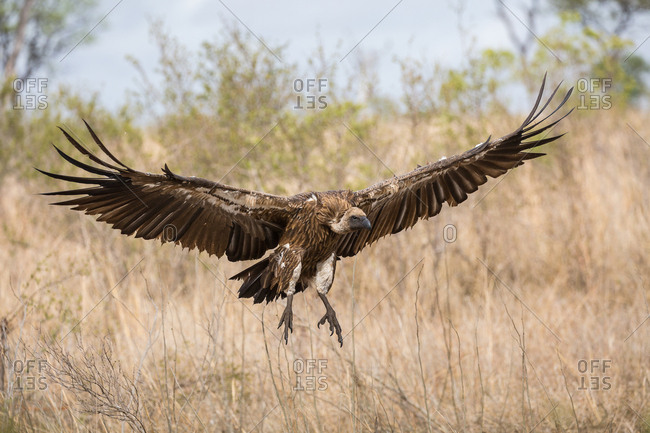 A White-backed vulture, Gyps africanus, in flight
