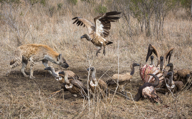 A Spotted hyena, Crocuta crocuta, approaches the carcass of a Cape Buffalo with White-backed vultures, Gyps africanus, already feeding
