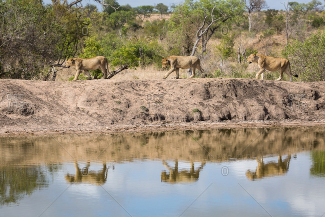 An pride of Lions, Panthera leo, walking along the edge of a water hole