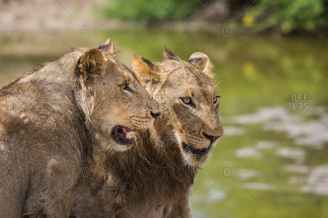 A pair of young male Lions, Panthera leo, resting in the heat near a water hole