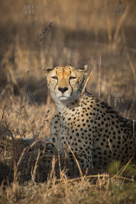 A Cheetah, Acinonyx jubatus, resting in tall grass