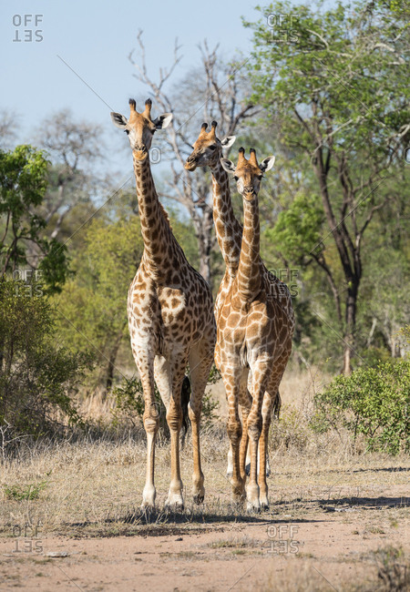 A trio of giraffes, Giraffa, on the move