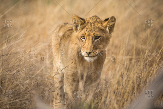 A Lion cub, Panthera leo, standing in tall grass