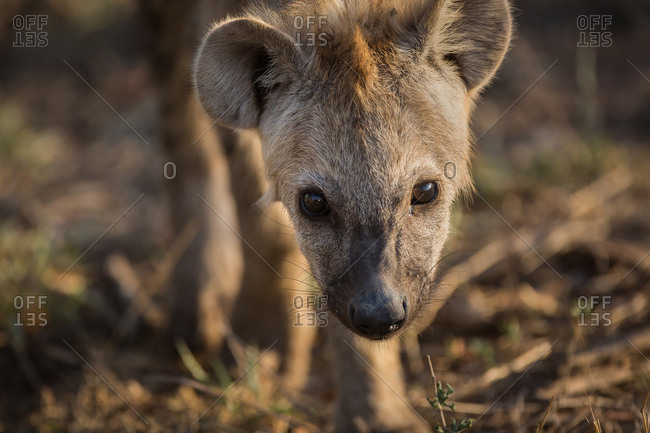 Portrait of a Hyena, Crocuta crocuta, walking in the grass