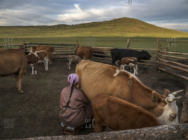 A Mongolian woman milks her cow