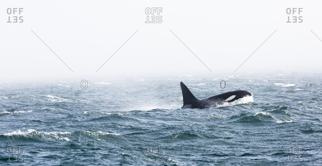 A male killer whale, Orcinus Orca, with a 6-ft tall dorsal fin