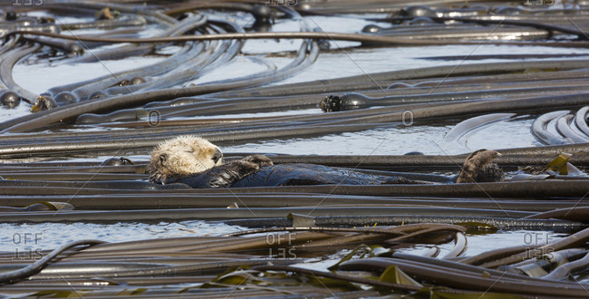 A sleeping sea otter, Enhydra lutris, floats in a field of bull kelp