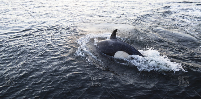 A killer whale, Orcinus orca, in pursuit of a harbor seal