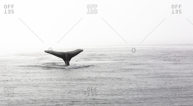 A Humpback whale, Megaptera novaeangliae, embarks on a deep dive