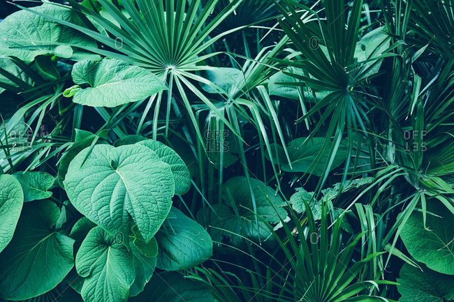 Tropical dark green leaves creating a background texture