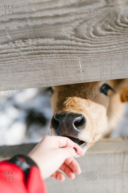 Curious calf peeping through fence at human hand petting it's mouth