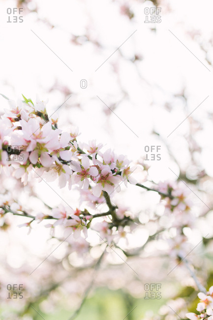 Close-up of blooming pastel cherry blossom branch