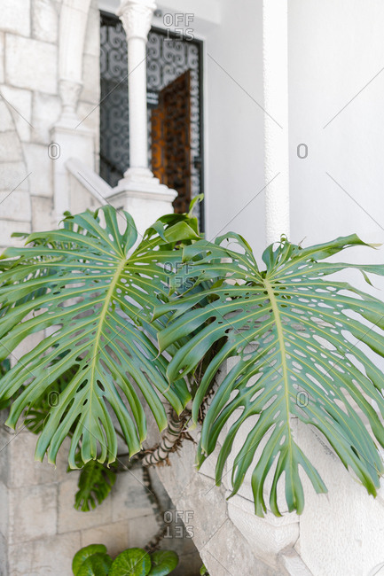 Large split leaf philodendron leaves growing outside window of stately home