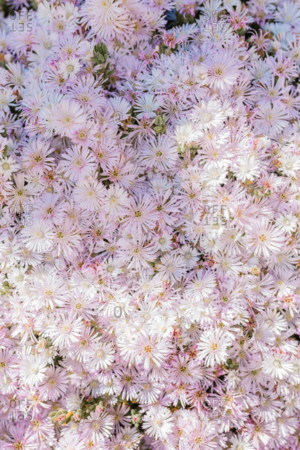 Full frame of a mass of pale pink daisies