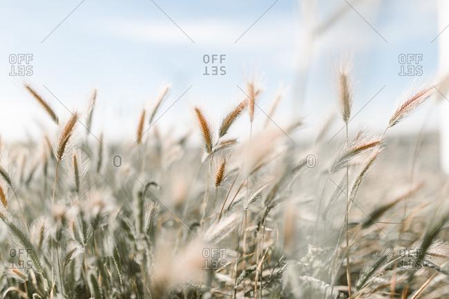 Stalks of Rye in a field