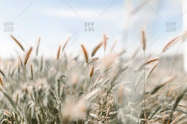 Stalks of Rye in a field