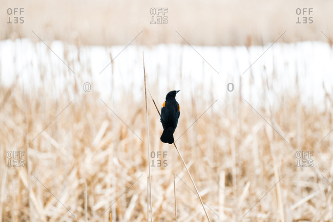Male red-winged blackbird perched on a reed at Wood Lake Nature Center