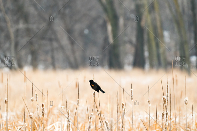 Male red-winged blackbird perched on dried cattails at Wood Lake Nature Center