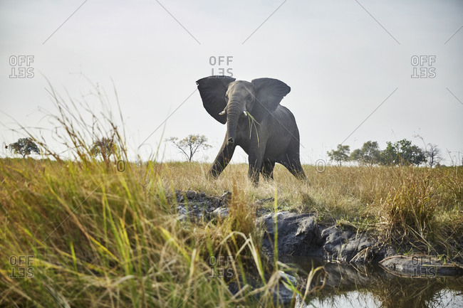 Namibia- Caprivi- cow elephant in defensive attitude