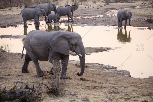 Africa- Namibia- Etosha National Park- african elephants- Loxodonta africana- young animal