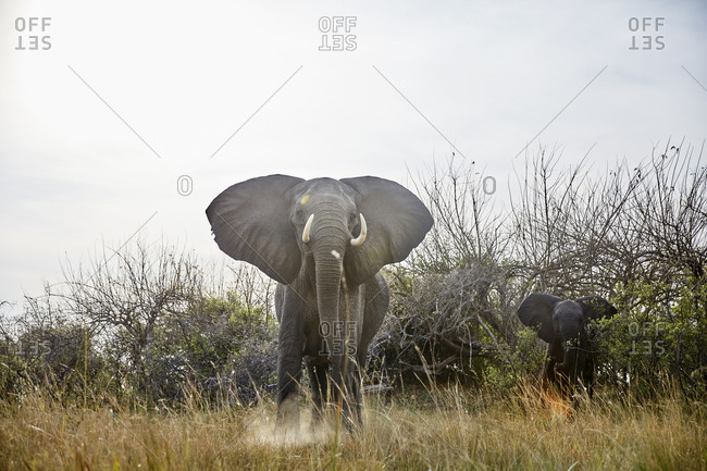 Namibia- Caprivi- cow elephant in defensive attitude- young animal in the background