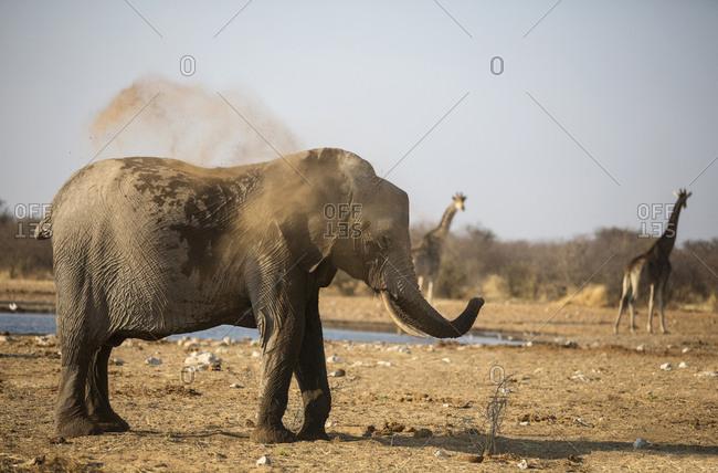 Africa- Namibia- Etosha National Park- african elephant- Loxodonta africana- young animal- dust bath