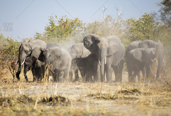 Africa- Namibia- Caprivi- African elephants whirling dust
