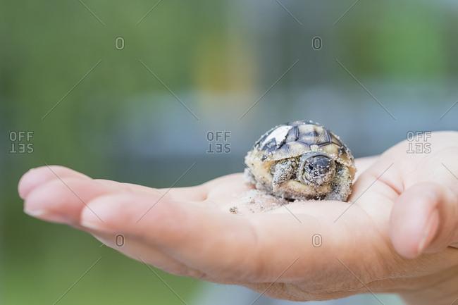 Hermann's tortoise- Testudo hermanni- freshly hatched