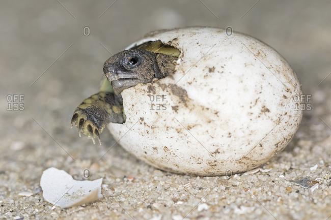 Hermann's tortoise- Testudo hermanni- hatching