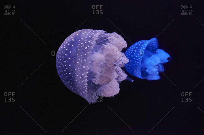 Blue and purple shining jellyfishes in front of black background