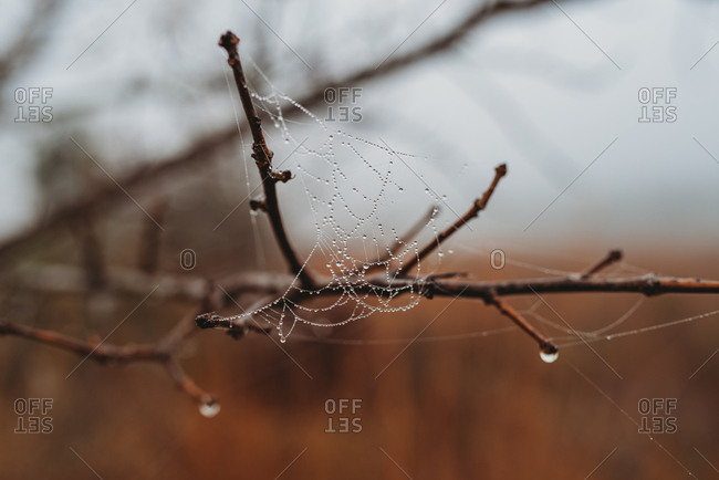 Wet spider's web hanging from bare tree branches