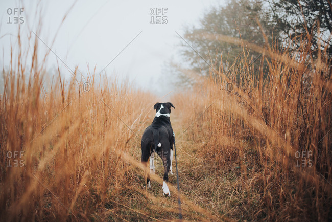 Rearview of alert dog in tall grass in wintery field