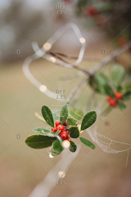 Cobweb draped over leaves and red berries on tree branch