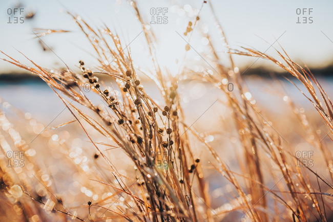Sunlight sparkling off ice on tall grass by side of lake