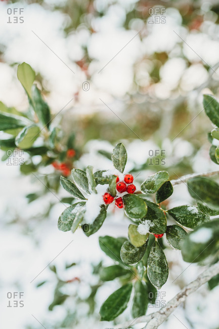 Red berries and leaves on tree branch with a dusting of snow