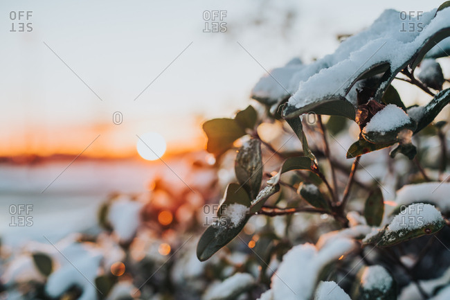 Close up of sun setting behind leaves covered in snow