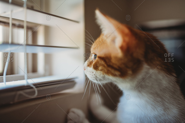 Curious cat looking out window through slat in window blinds