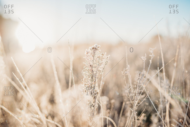 Frost covering dried plant in winter