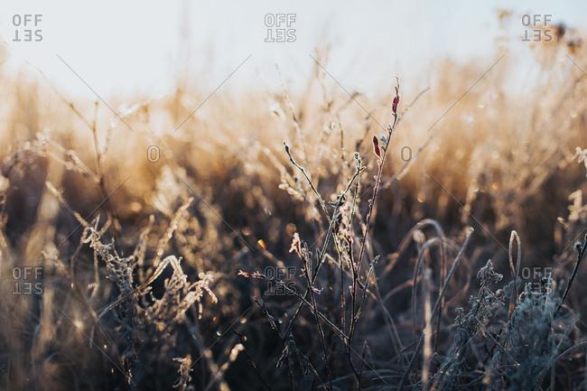 Frost covering dead plants in winter